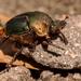 Rainbow Scarab Beetle!