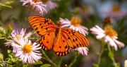 24th Oct 2020 - Gulf Fritillary Butterfly!