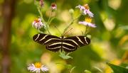 24th Oct 2020 - Zebra Longwing Butterfly!