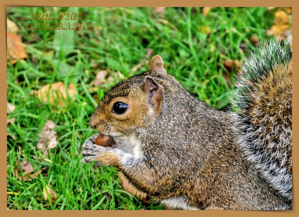 Nibbling A Beech Nut by carolmw