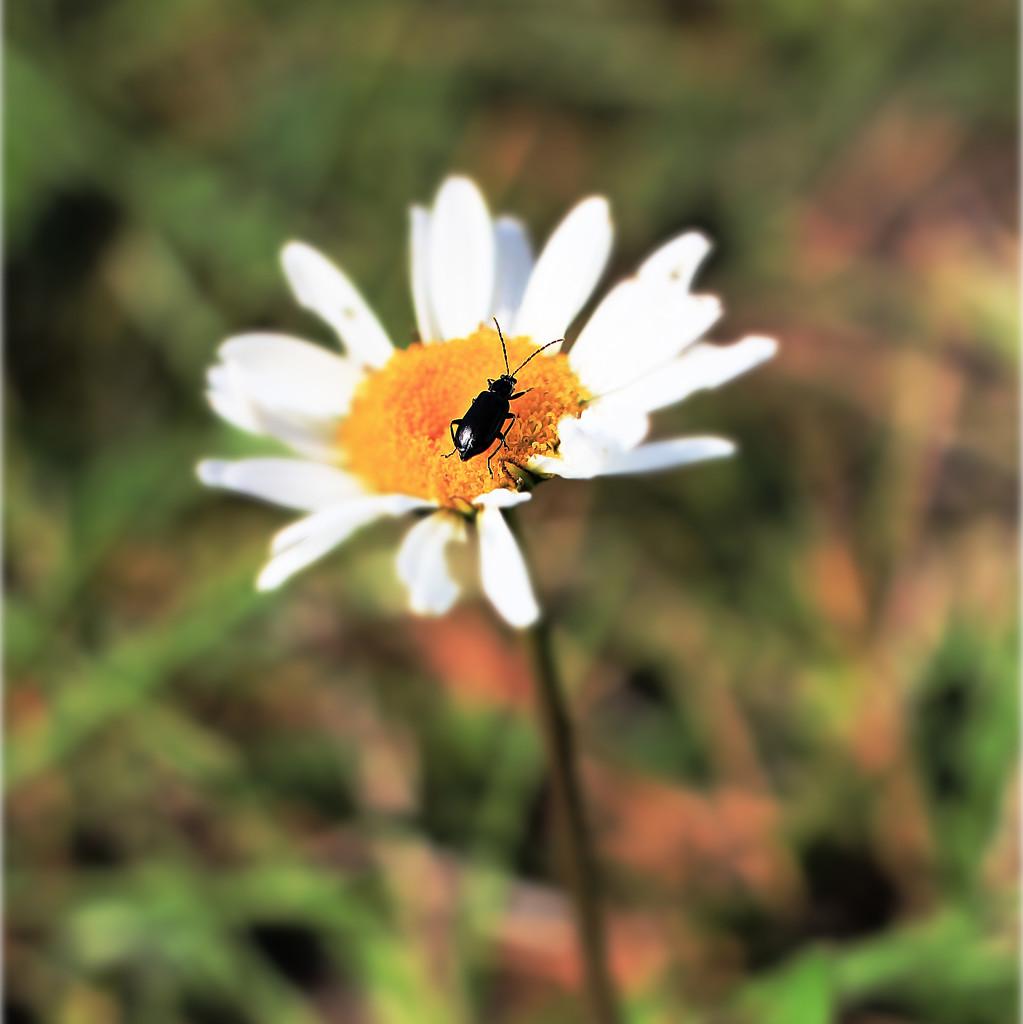 Perfect Little Beetle by juliedduncan