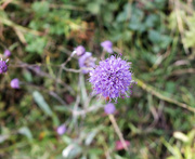 25th Oct 2020 - Hairy flower!