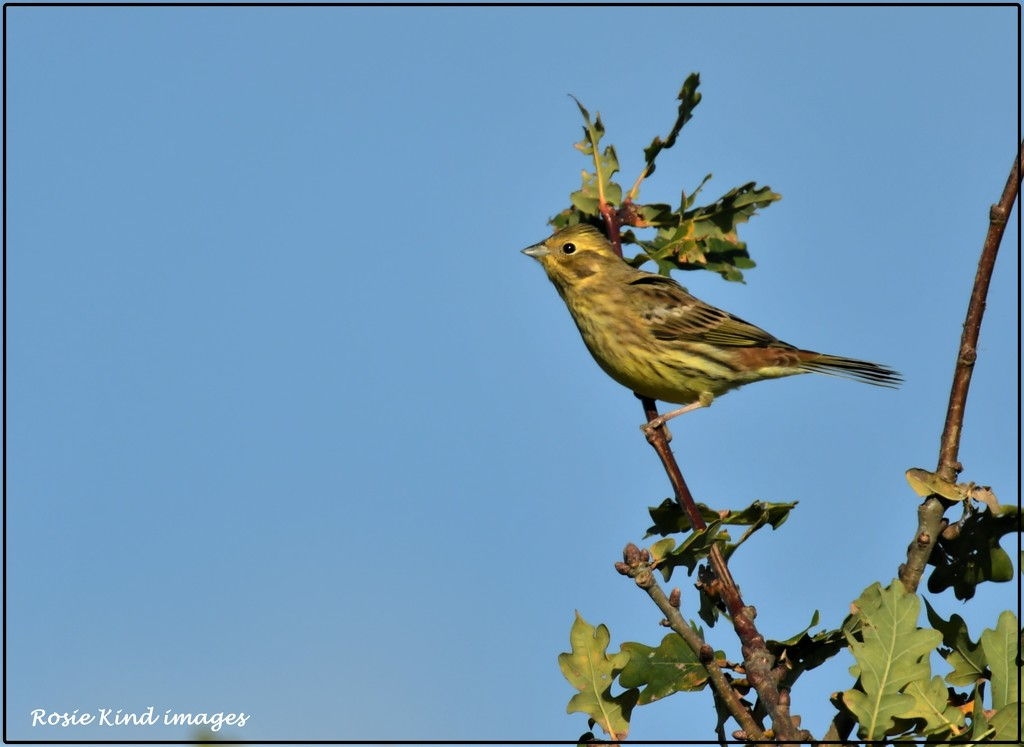 Yellowhammer by rosiekind