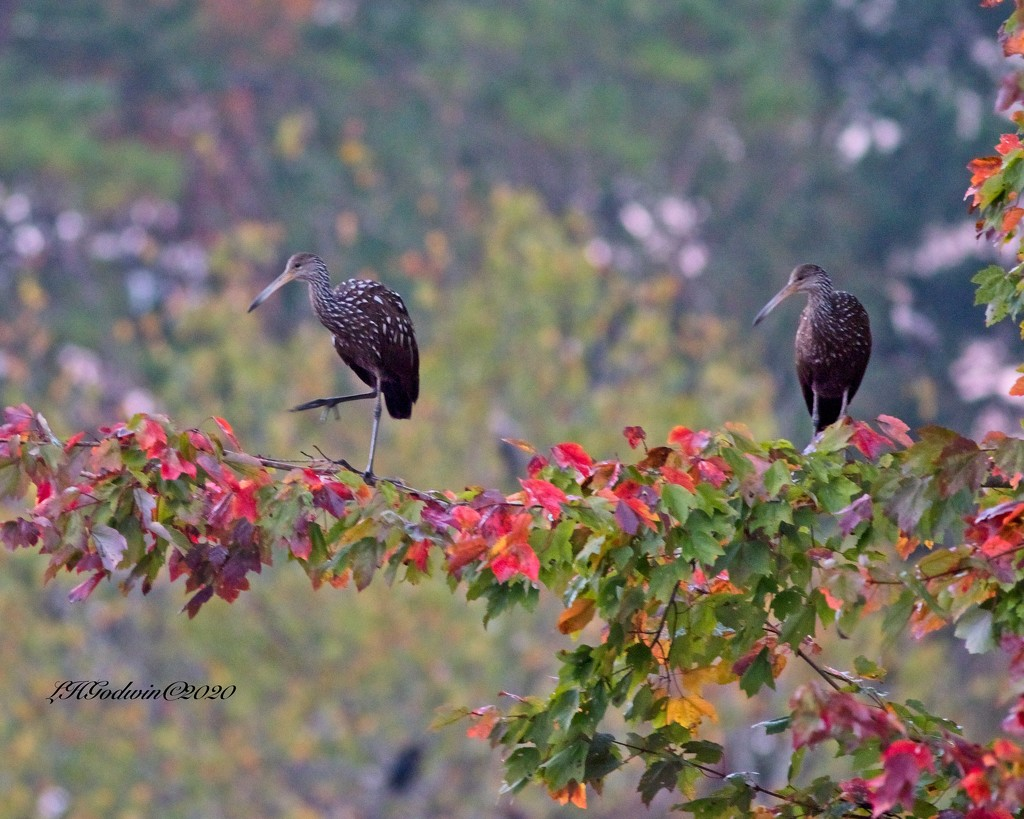 LHG-2788-Limpkins out on a limb  by rontu