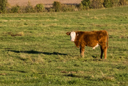 11th Oct 2020 -  Hereford Cattle