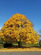25th Oct 2020 - Trees of Golden.