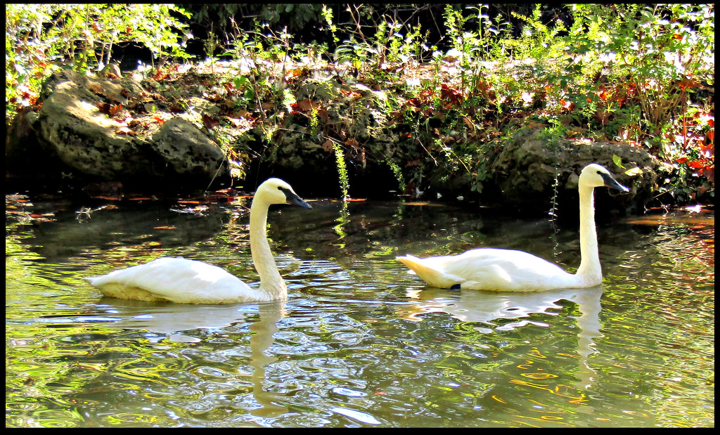Swans In The Fall by moviegal1