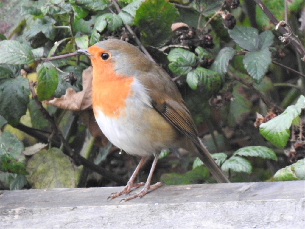 Robin on the Fence  by susiemc