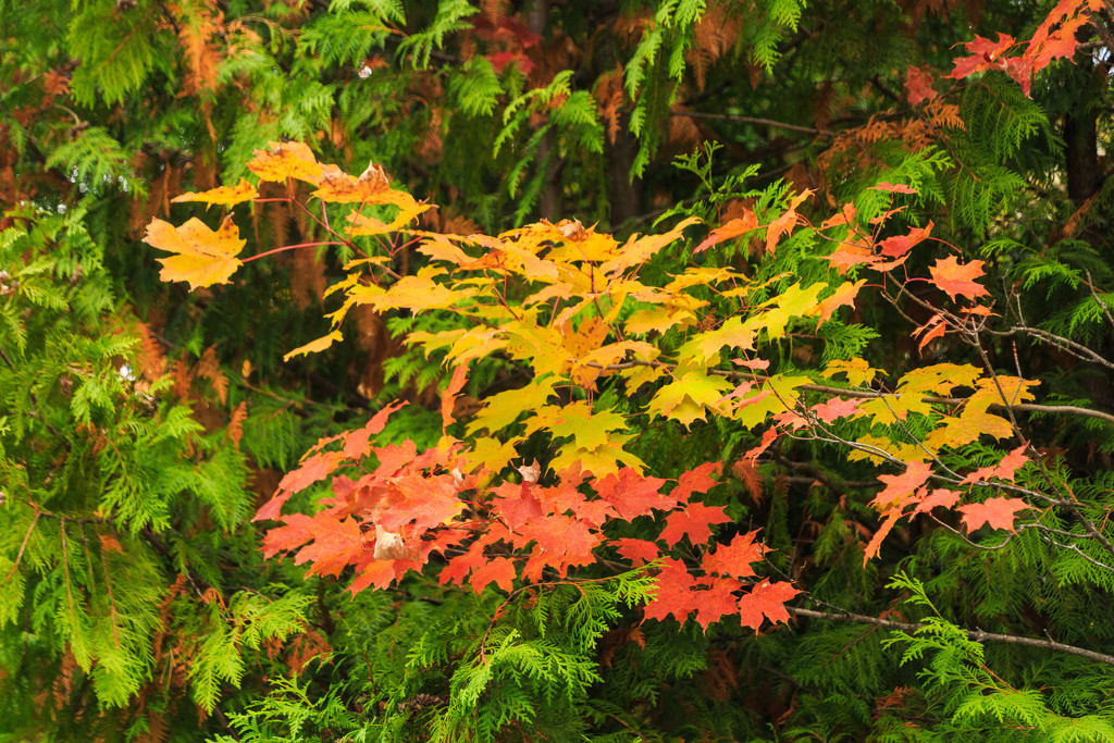 Red Orange and Yellow Leaves by photograndma