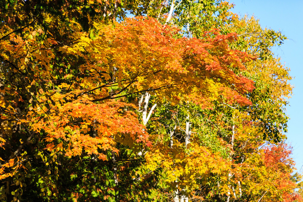 Color in the Trees by photograndma