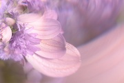 25th Oct 2020 - Purple and pink petals ...........