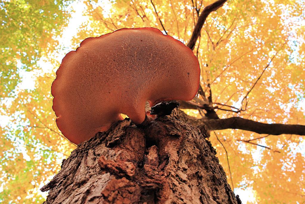 Saddleback Mushroom by juliedduncan
