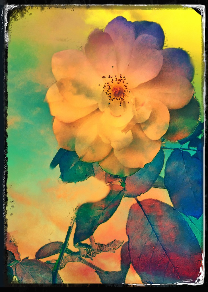 Rose from our backyard  by kathyboyles