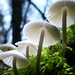 Angel bonnets (Mycena arcangeliana)