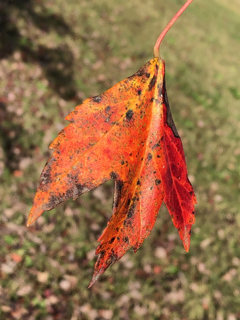 Orange leaf by homeschoolmom