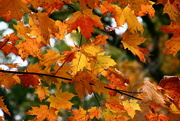 """23rd Oct 2020 - Leaves Trees colors """"Fall Colors"""" """"Fall Foliage"""" nature"""