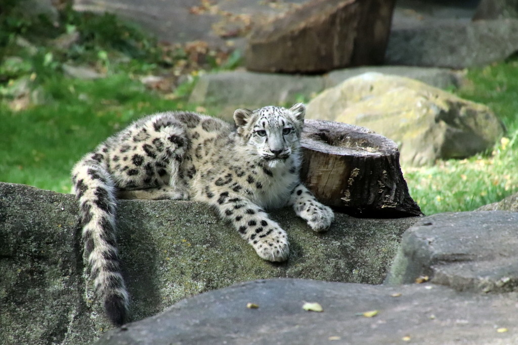 Baby Snow Leopard by randy23