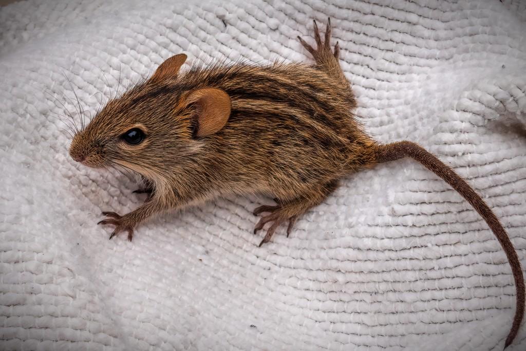 Minky's Mouse by ludwigsdiana