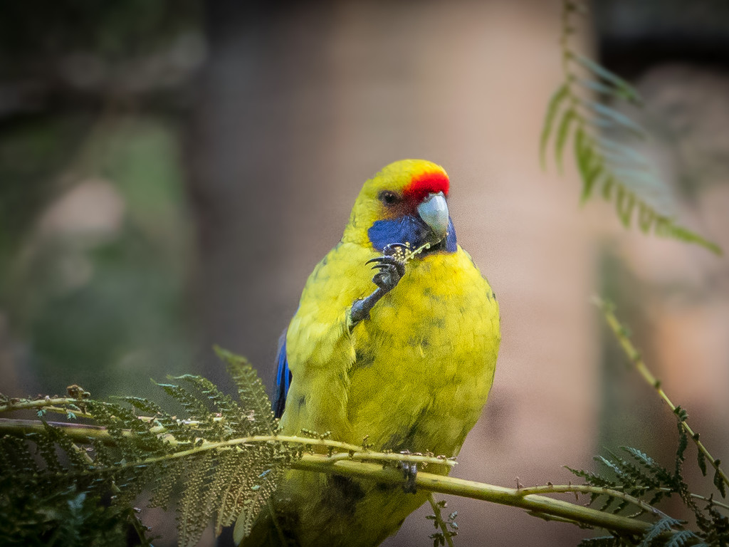 Green Rosella  by gosia