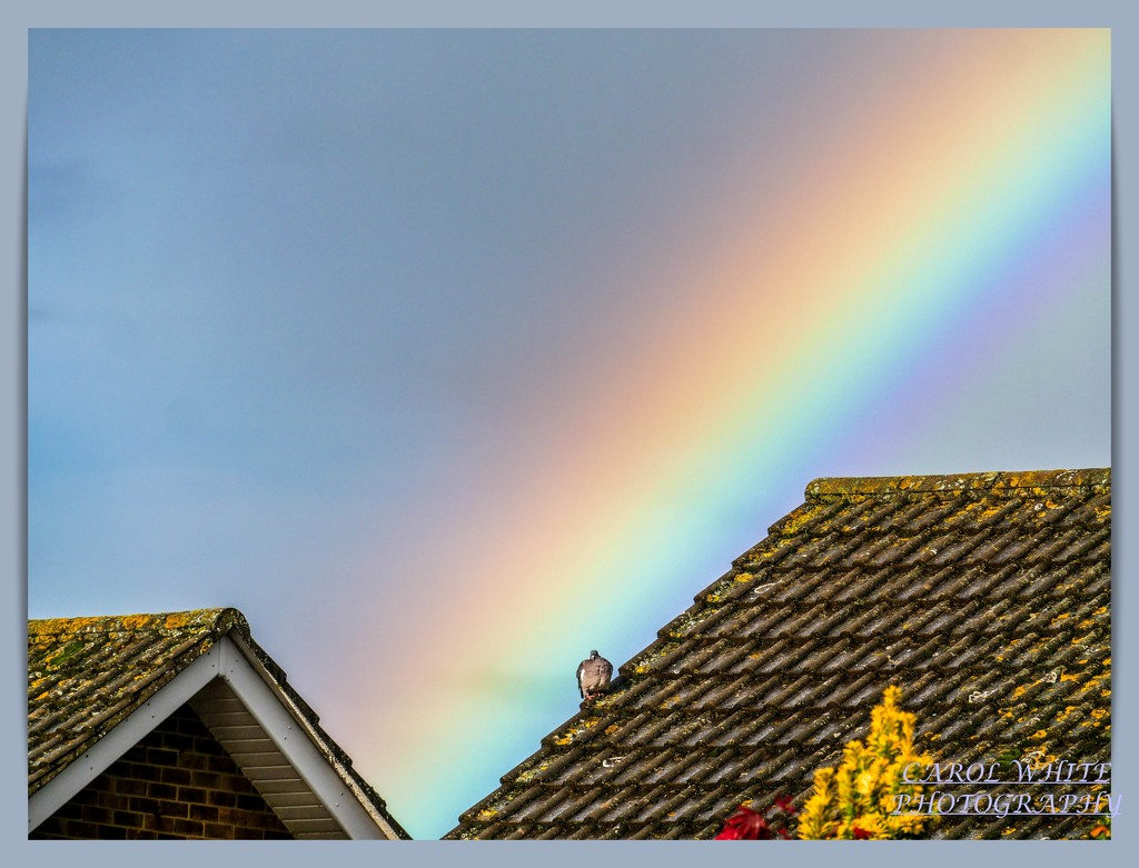 Rainbow And A Chilly-Looking Pigeon by carolmw