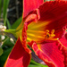Lilies are blooming in the neighborhood by shutterbug49