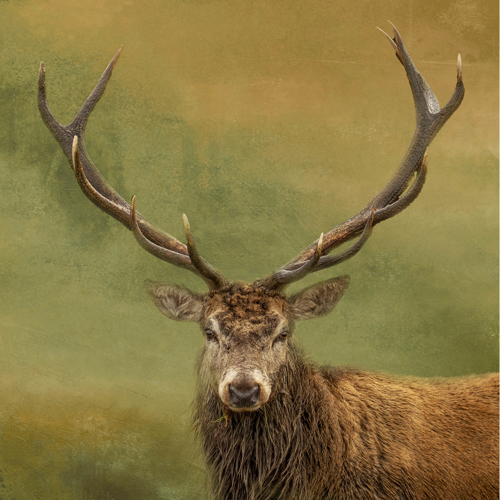 Royal Stag by shepherdmanswife