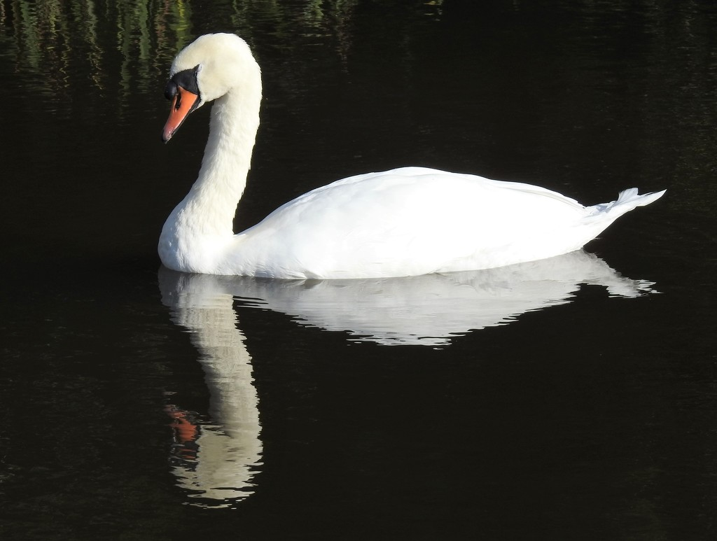 Swan at Llangorse   by susiemc