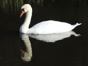 12th Oct 2020 -  Swan at Llangorse