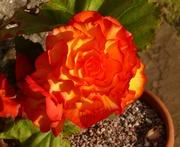 26th Oct 2020 -  Beautiful Begonia