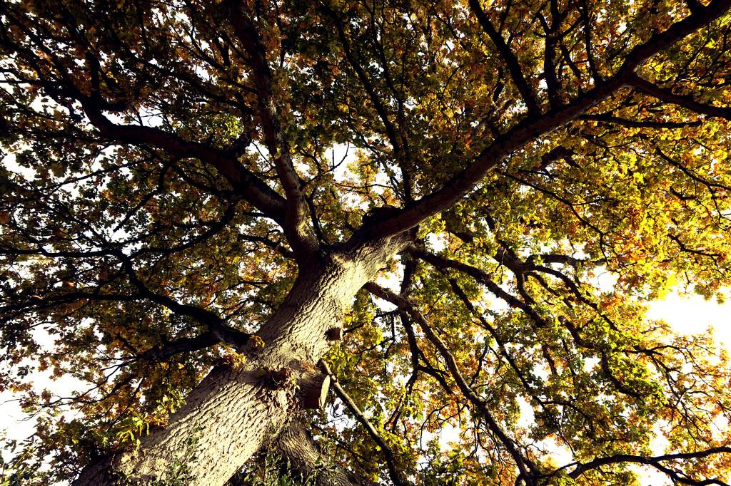 Oct 24th Sarah Marino III Oak Tree by valpetersen