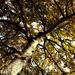 Oct 24th Sarah Marino III Oak Tree
