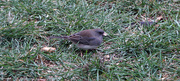 26th Oct 2020 - Eastern Phoebe