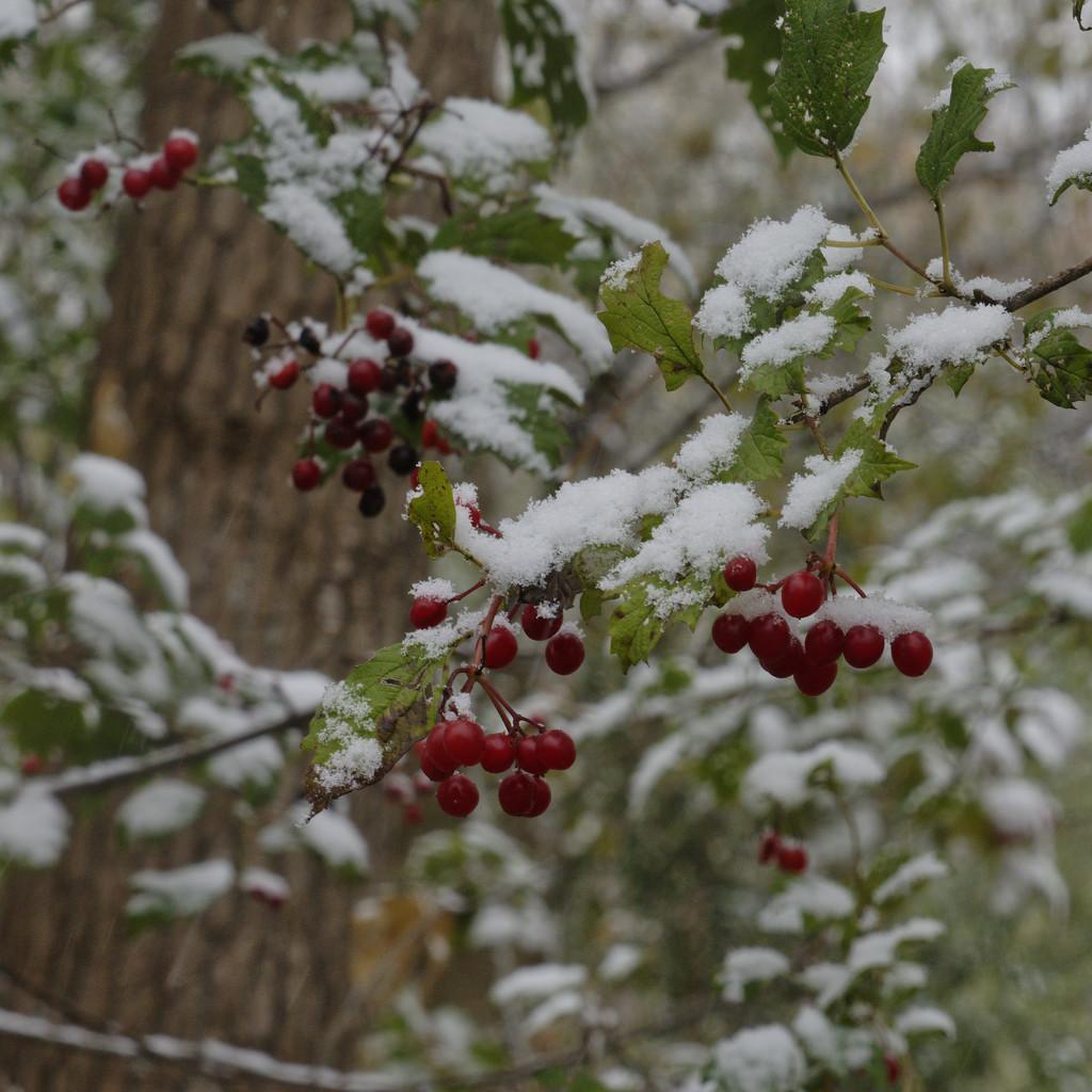 red berries by rminer