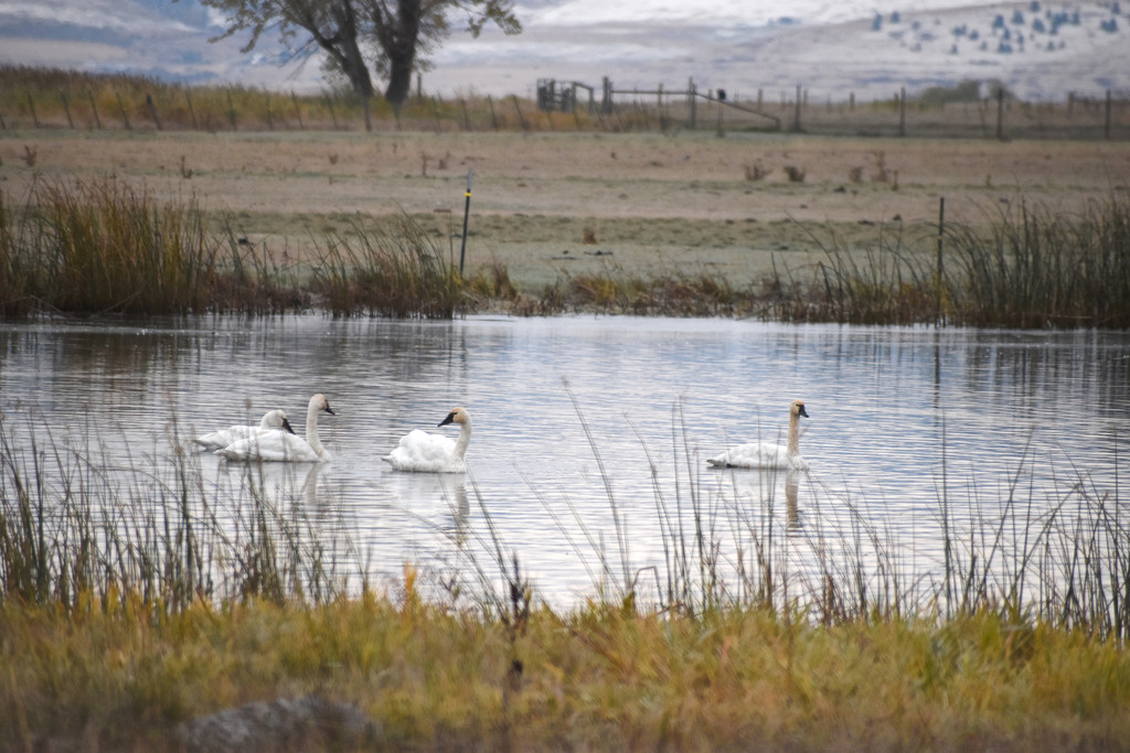 Trumpeter Swans by bjywamer