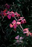 24th Oct 2020 - Autumnal Brambles...