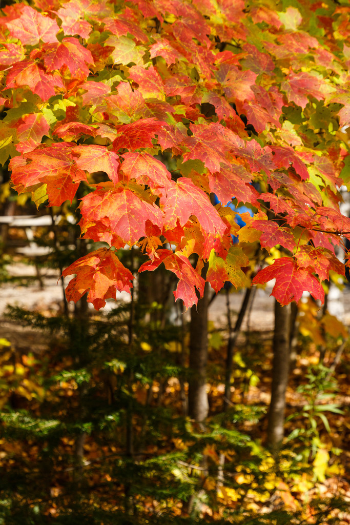 Maples Leaves by photograndma