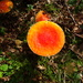 orange toadstool
