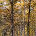 Tamarack  by tosee
