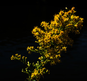 18th Oct 2020 - Goldenrod