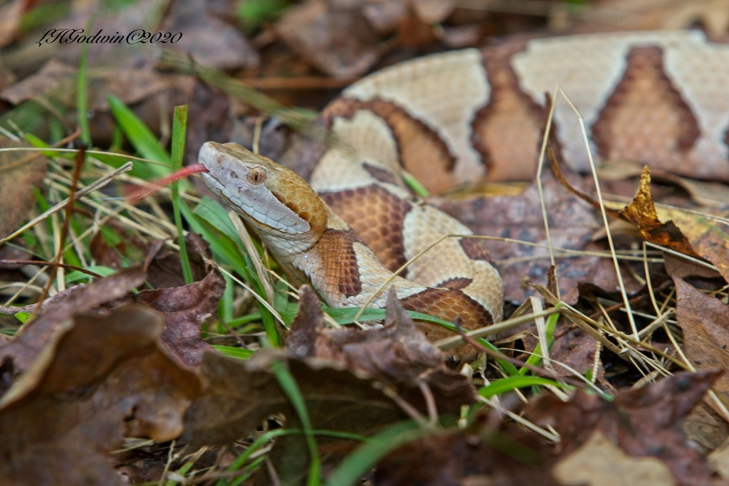 LHG-3409- Too Close Copperhead by rontu