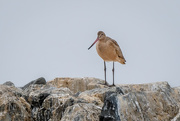 26th Oct 2020 - Marbled Godwit