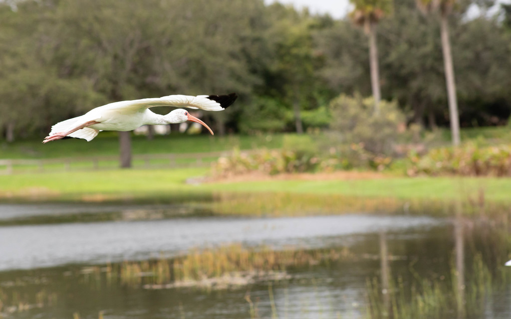 American white ibis  by dutchothotmailcom