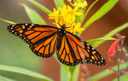 26th Oct 2020 - Monarch Butterfly!