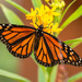 Monarch Butterfly!