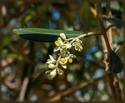 27th Oct 2020 - Olive blossoms