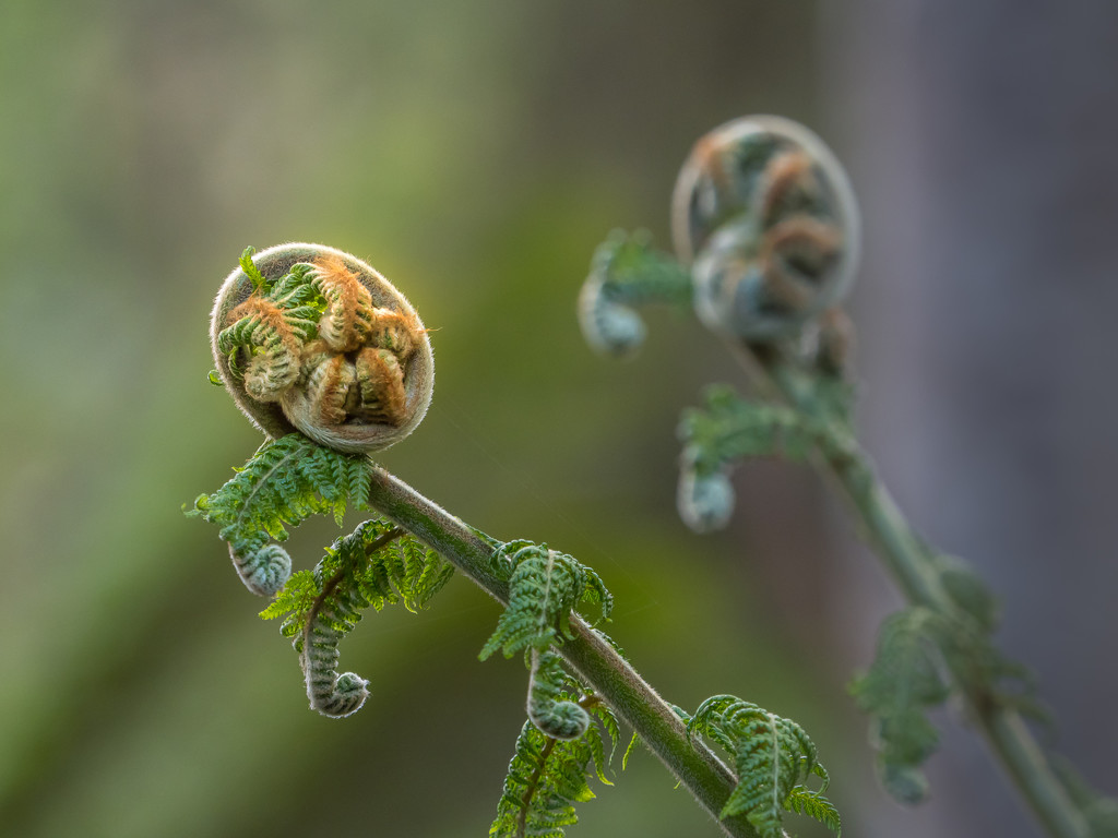 Double fern by gosia