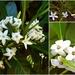 Native Gardenia ~