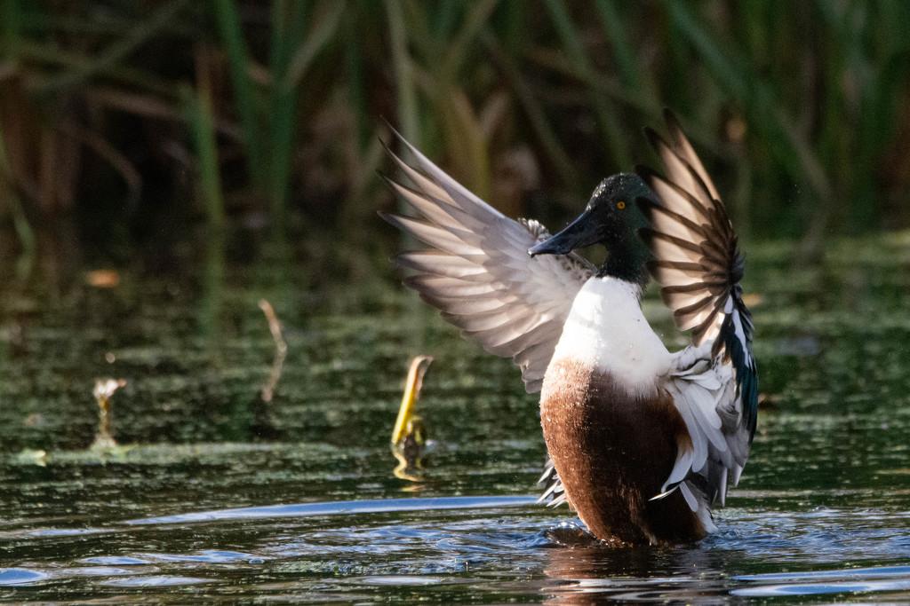 A quack stretch by stevejacob