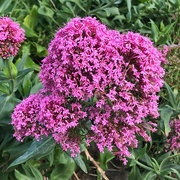 27th Oct 2020 - Centranthus ruber or red valerian.