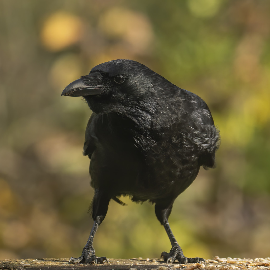 Crow by shepherdmanswife